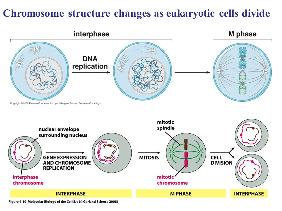 Chromosome structure changes as eukaryotic cells divide
