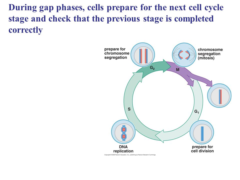 During gap phases, cells prepare for the next cell cycle stage and check that the previous stage is completed correctly