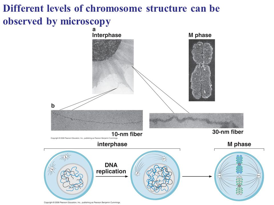 Different levels of chromosome structure can be observed by microscopy