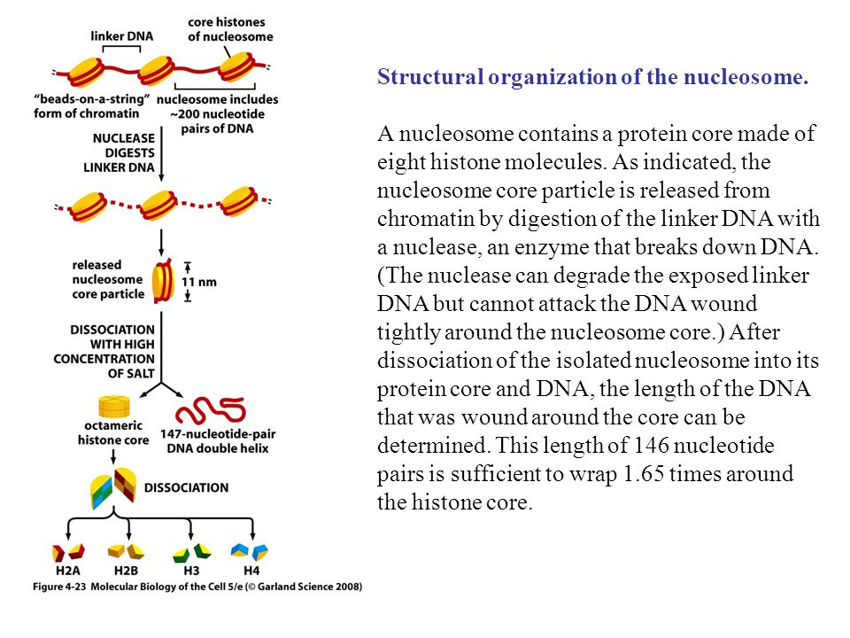 Structural organization of the nucleosome.