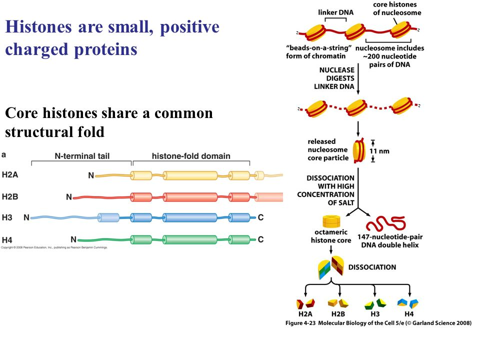 Histones are small, positive charged proteins