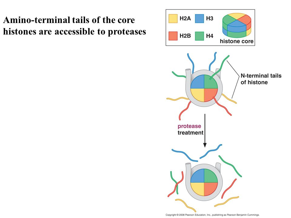 Amino-terminal tails of the core histones are accessible to proteases