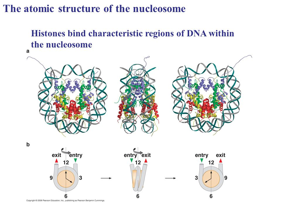 The atomic structure of the nucleosome