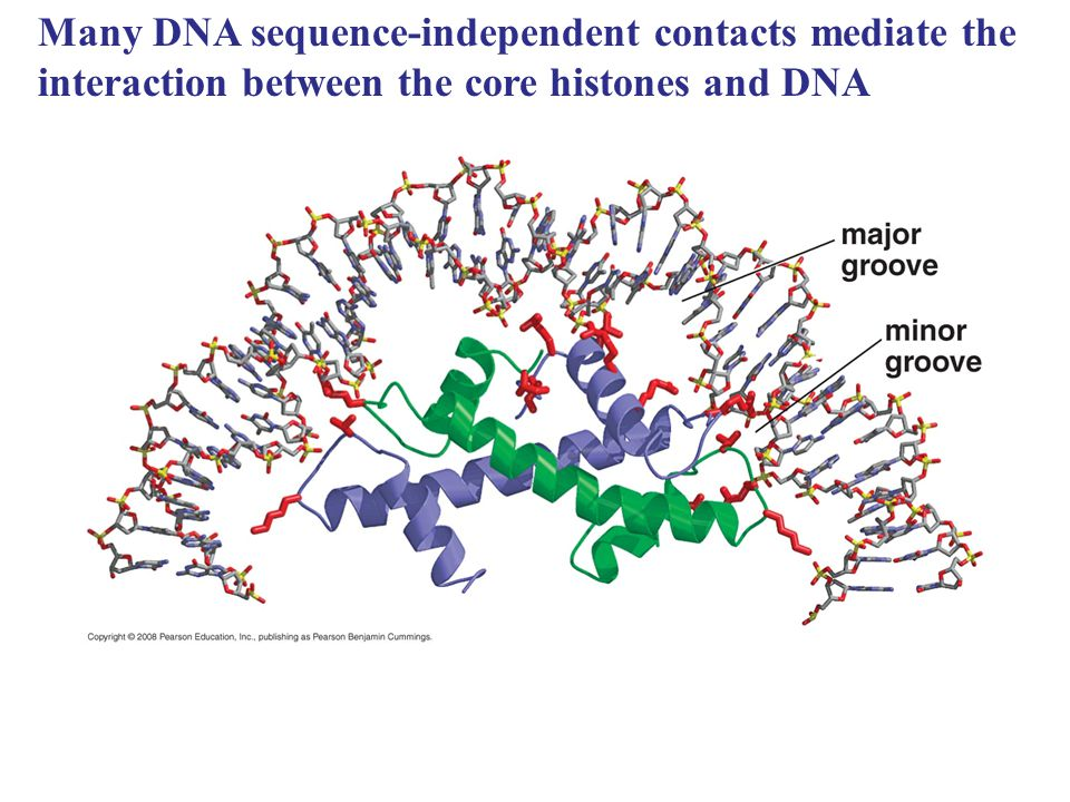 Many DNA sequence-independent contacts mediate the interaction between the core histones and DNA
