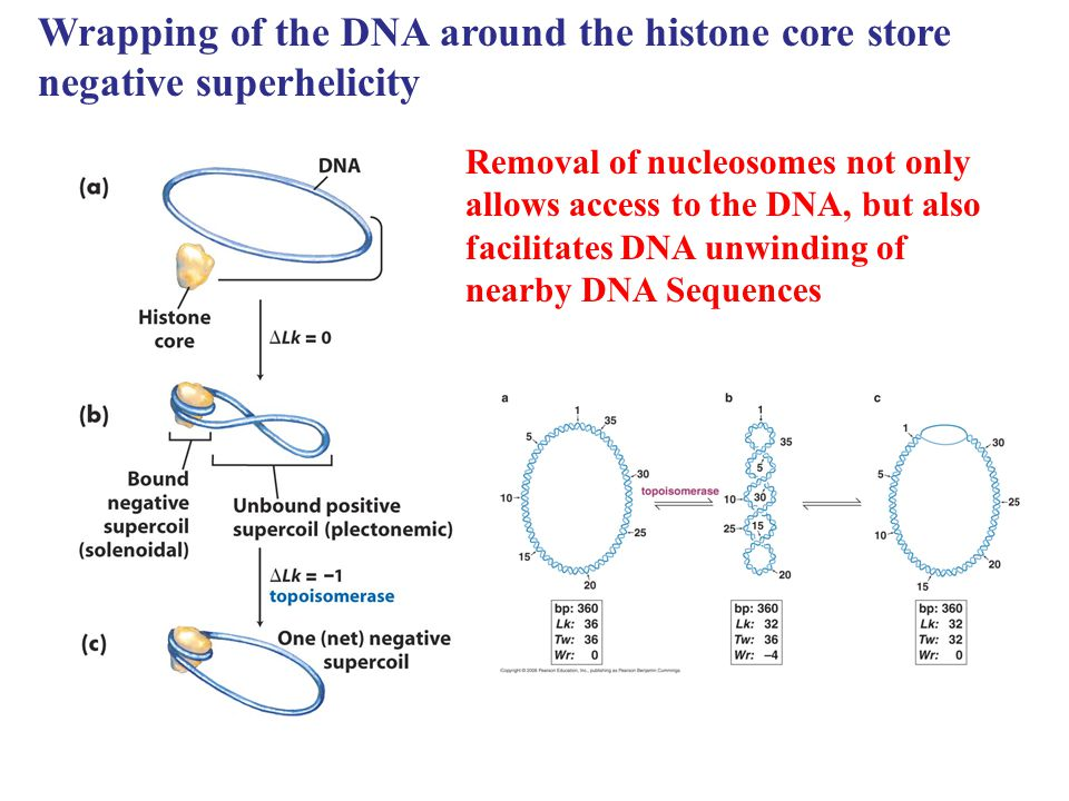 Wrapping of the DNA around the histone core store negative superhelicity