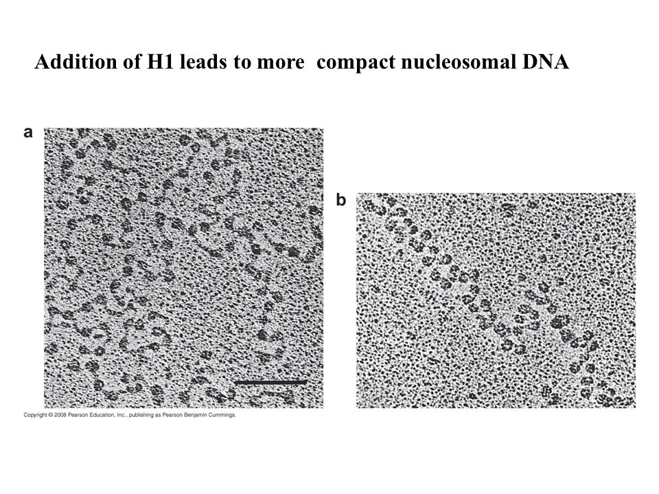 Addition of H1 leads to more compact nucleosomal DNA