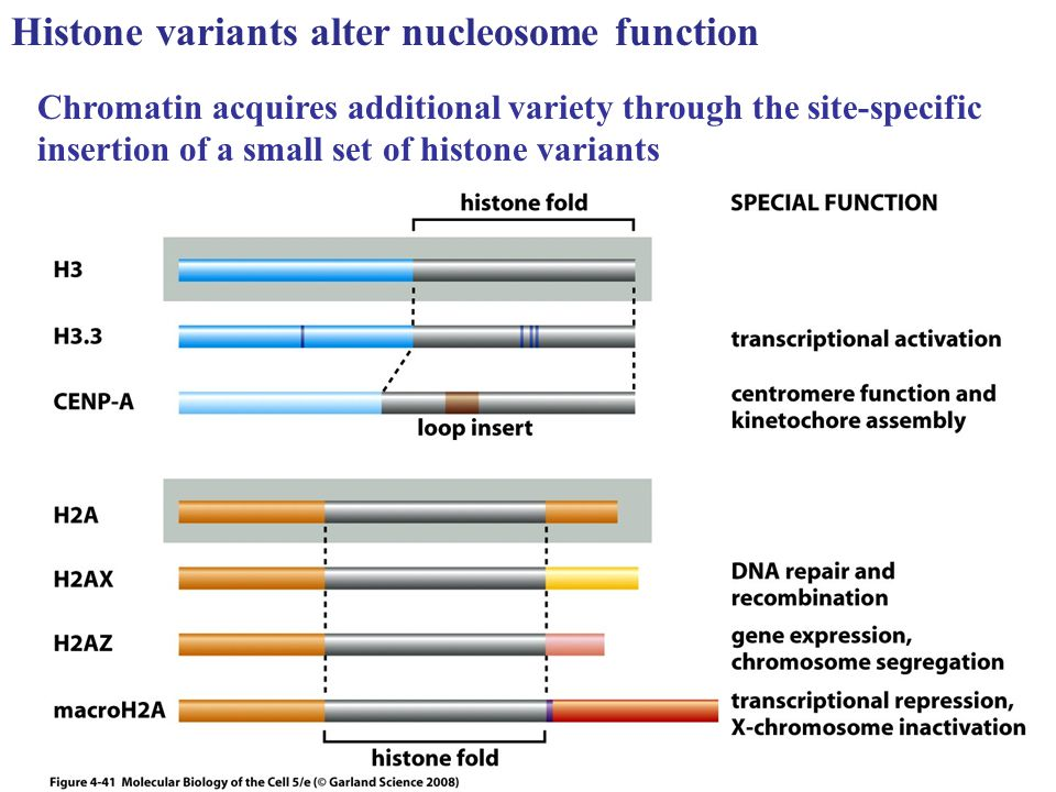 Histone variants alter nucleosome function