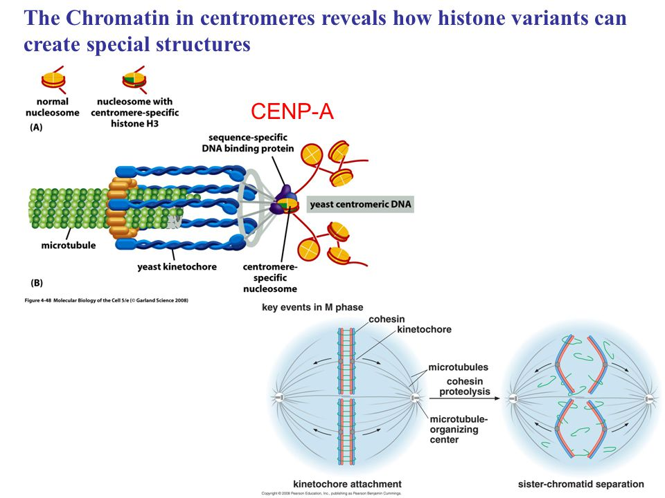 The Chromatin in centromeres reveals how histone variants can create special structures