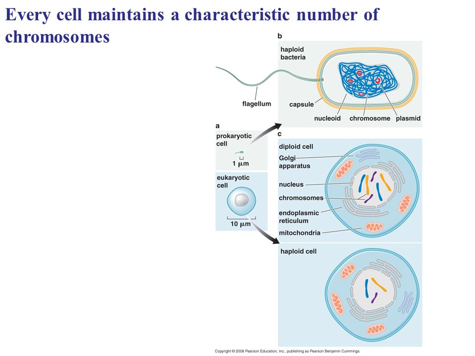 Every cell maintains a characteristic number of chromosomes