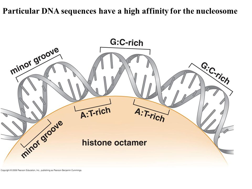 Particular DNA sequences have a high affinity for the nucleosome