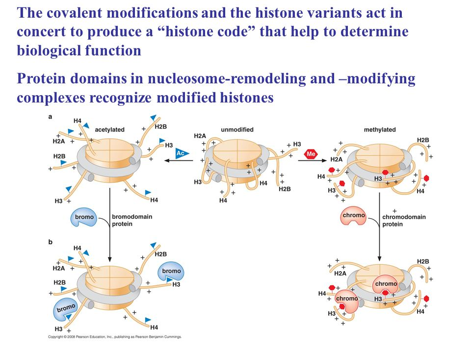 The covalent modifications and the histone variants act in concert to produce a histone code that help to determine biological function