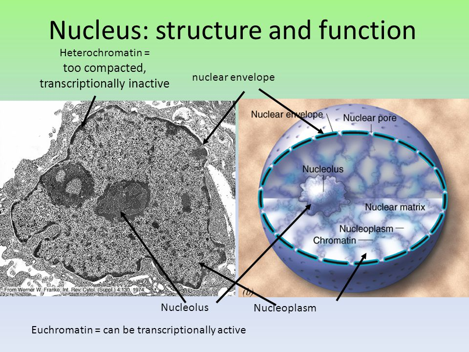 Nucleus: structure and function