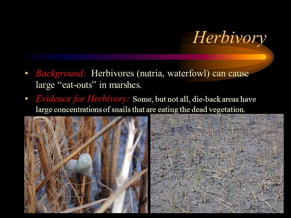 Herbivory Background: Herbivores (nutria, waterfowl) can cause large eat-outs in marshes.