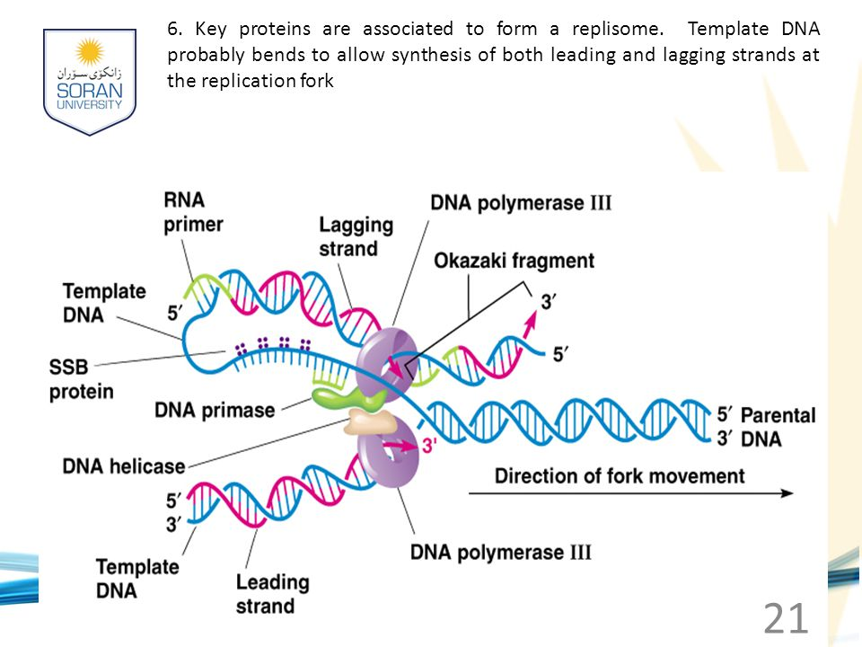 6. Key proteins are associated to form a replisome