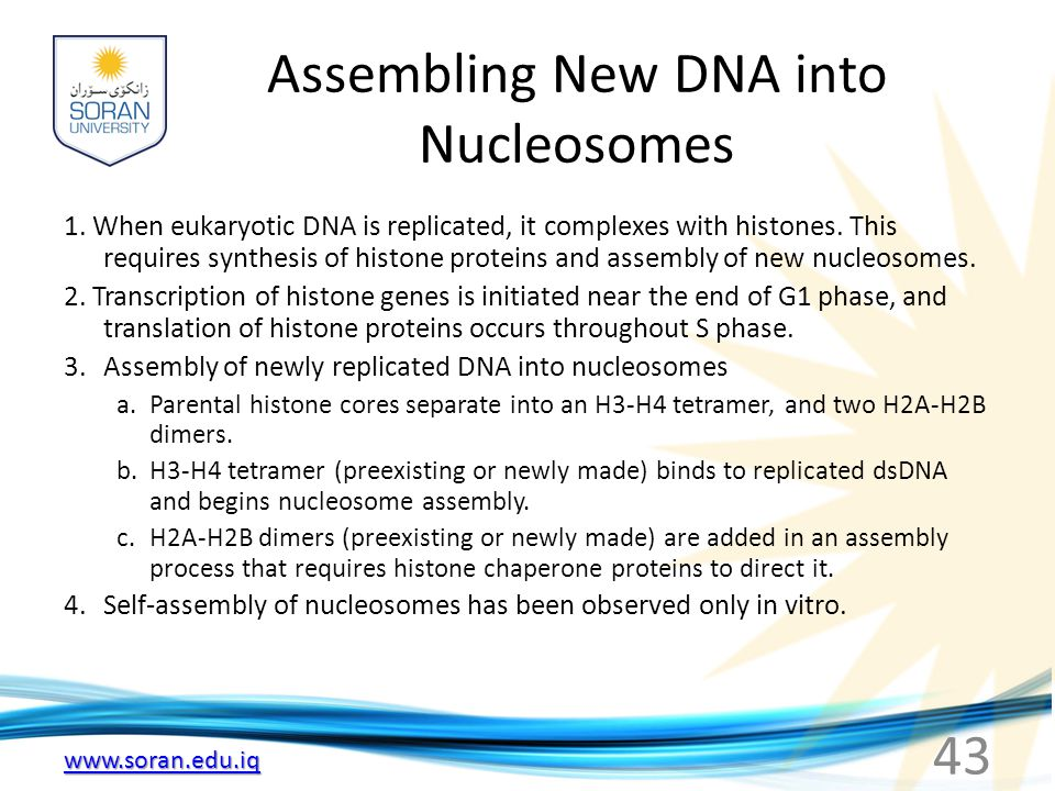 Assembling New DNA into Nucleosomes