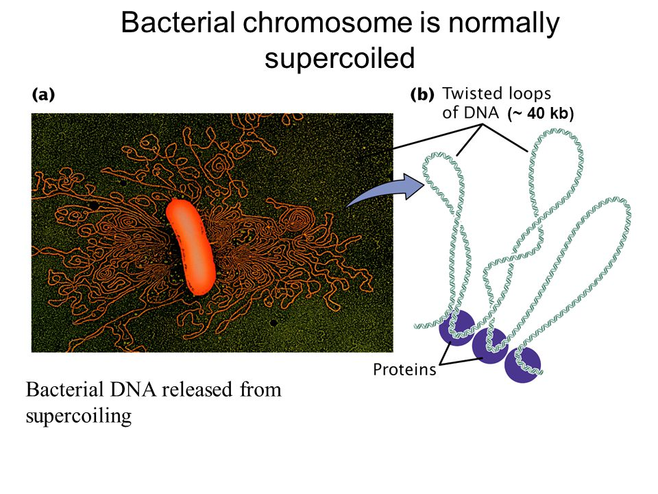 Bacterial chromosome is normally supercoiled
