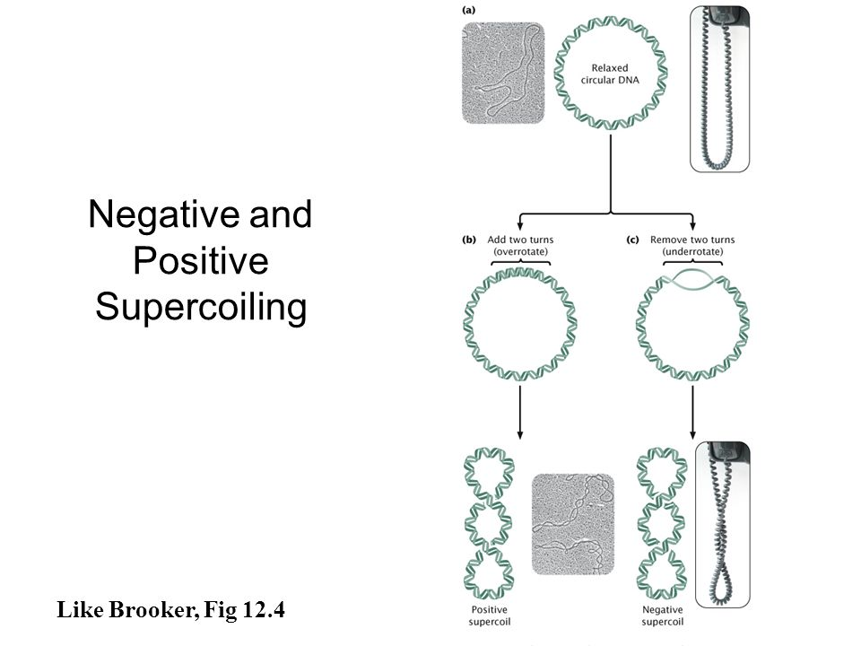 Negative and Positive Supercoiling