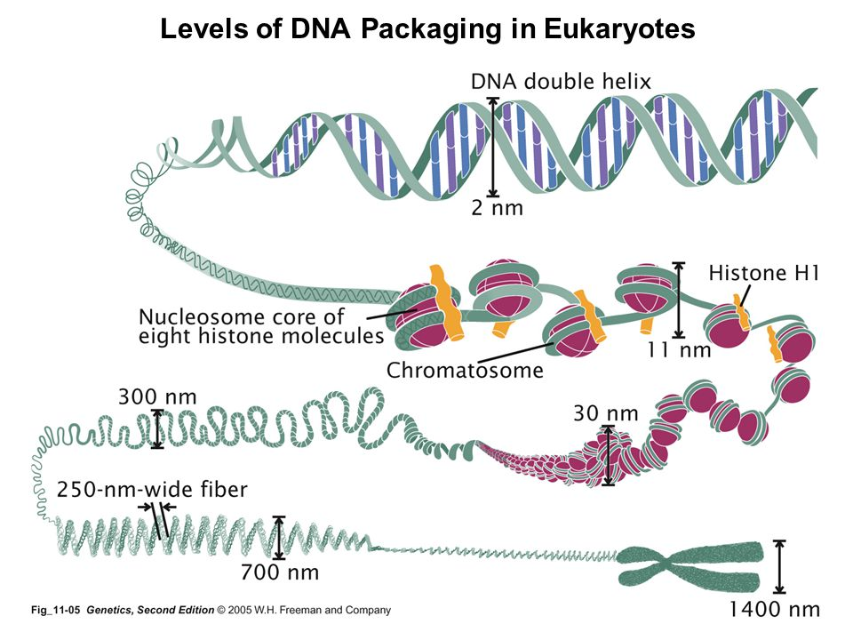 Levels of DNA Packaging in Eukaryotes