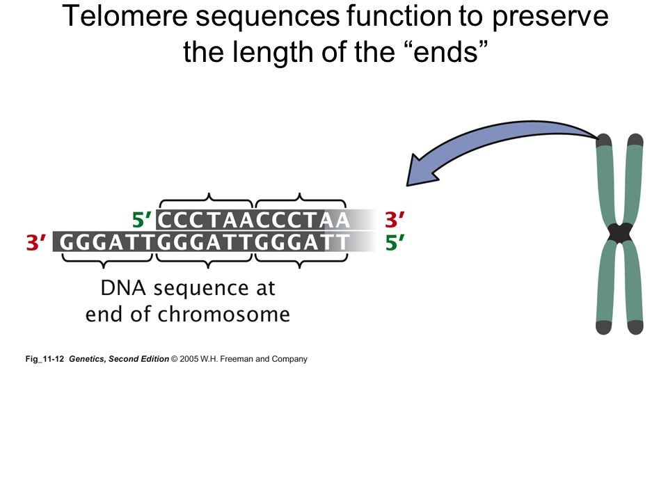 Telomere sequences function to preserve the length of the ends