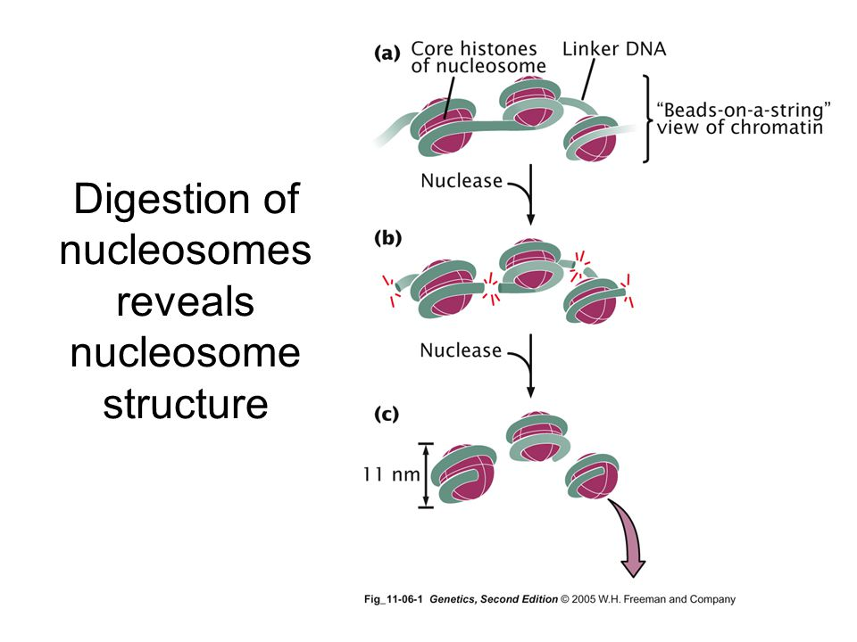 Digestion of nucleosomes reveals nucleosome structure