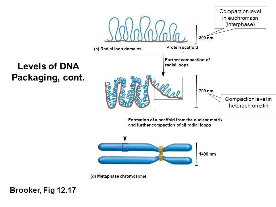 Levels of DNA Packaging, cont.