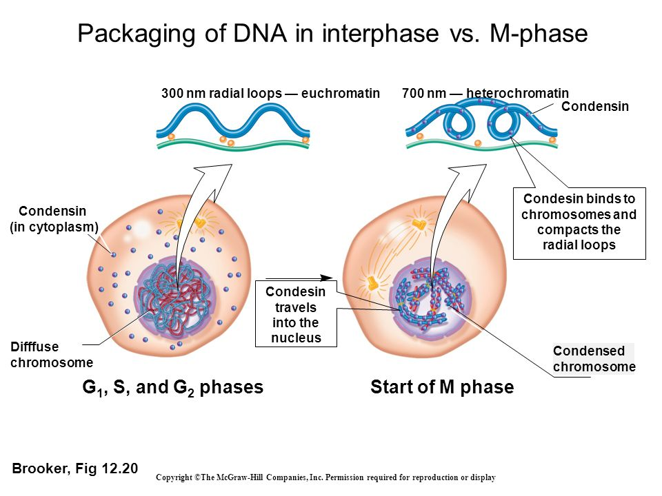 Packaging of DNA in interphase vs. M-phase