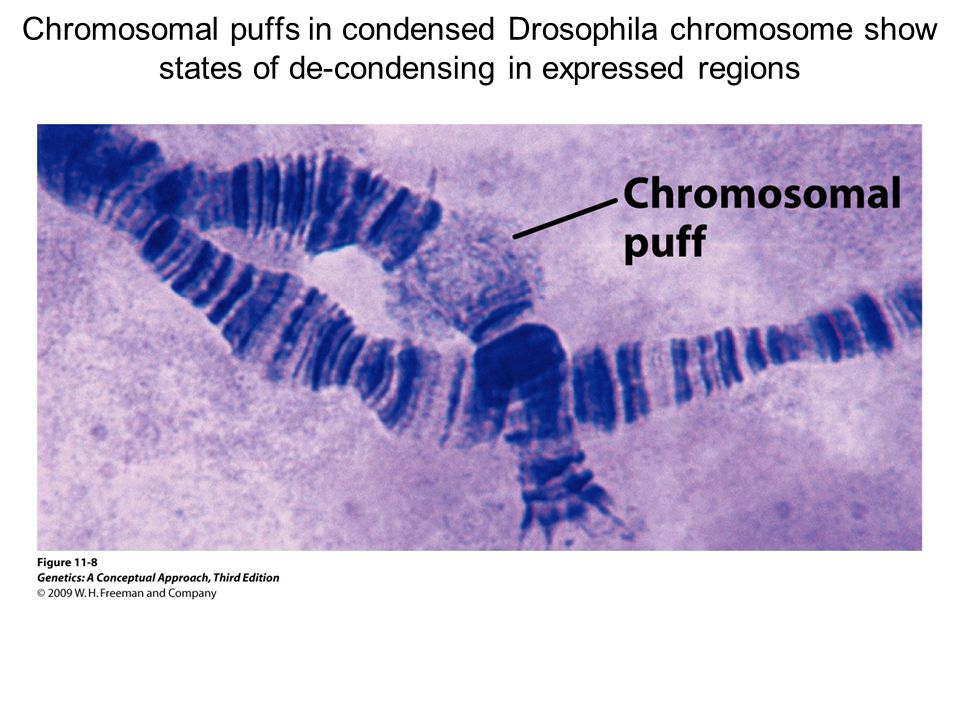 Chromosomal puffs in condensed Drosophila chromosome show states of de-condensing in expressed regions