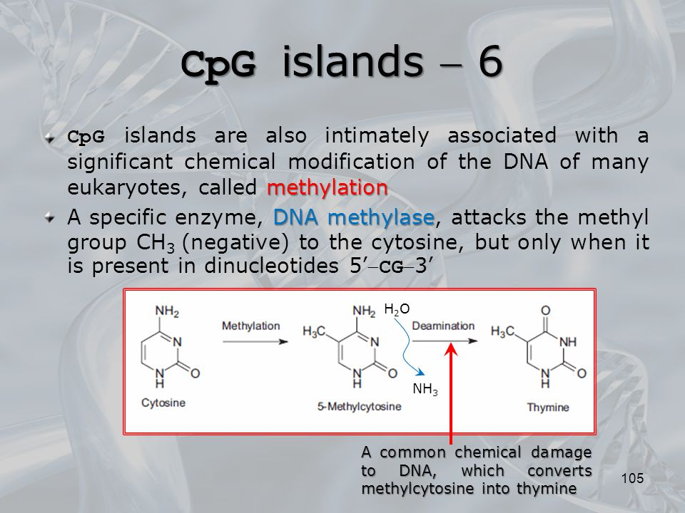 CpG islands  6 CpG islands are also intimately associated with a significant chemical modification of the DNA of many eukaryotes, called methylation.