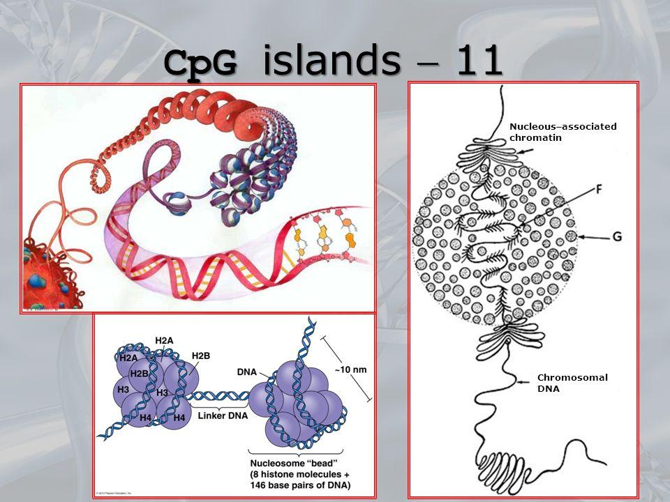CpG islands  11 Nucleousassociated chromatin Chromosomal DNA