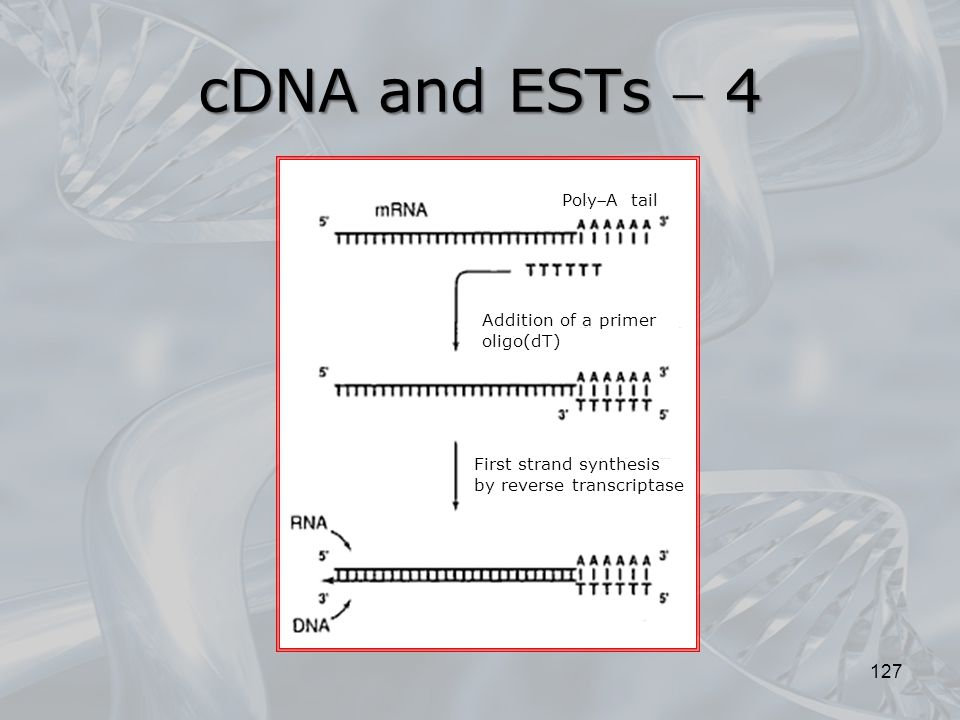 cDNA and ESTs  4 PolyA tail Addition of a primer oligo(dT)