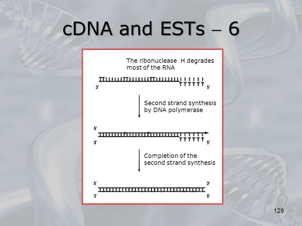 cDNA and ESTs  6 The ribonuclease H degrades most of the RNA
