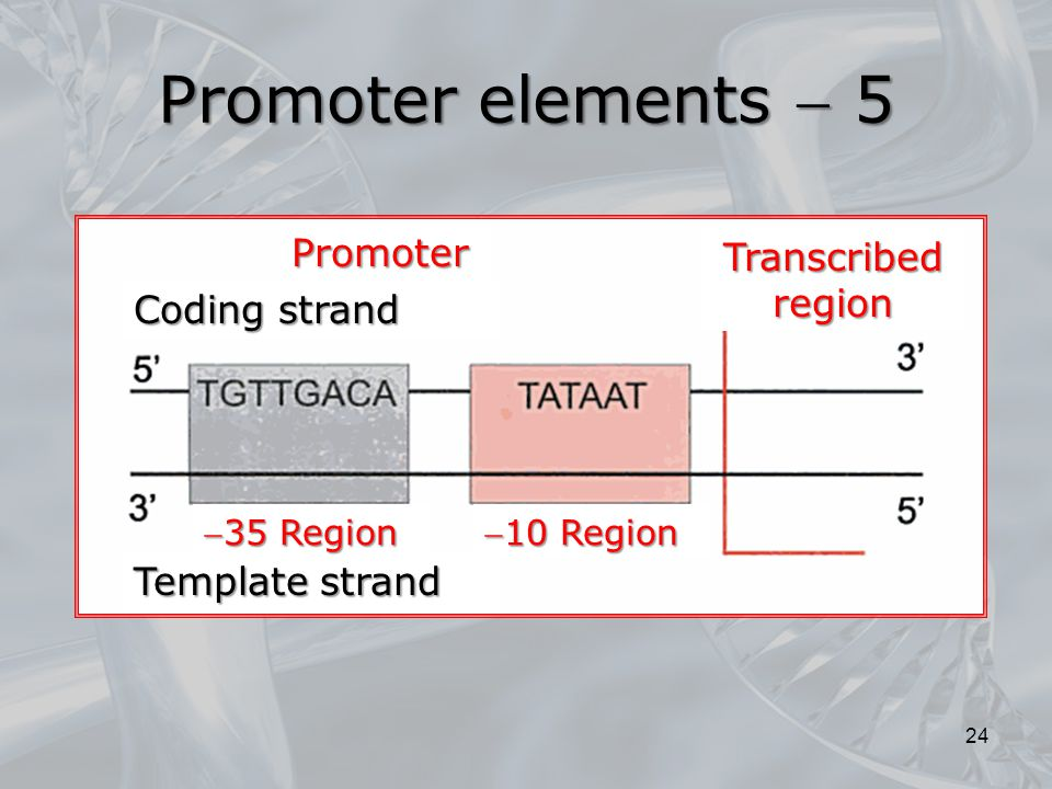 Promoter elements  5 Promoter Transcribed region Coding strand