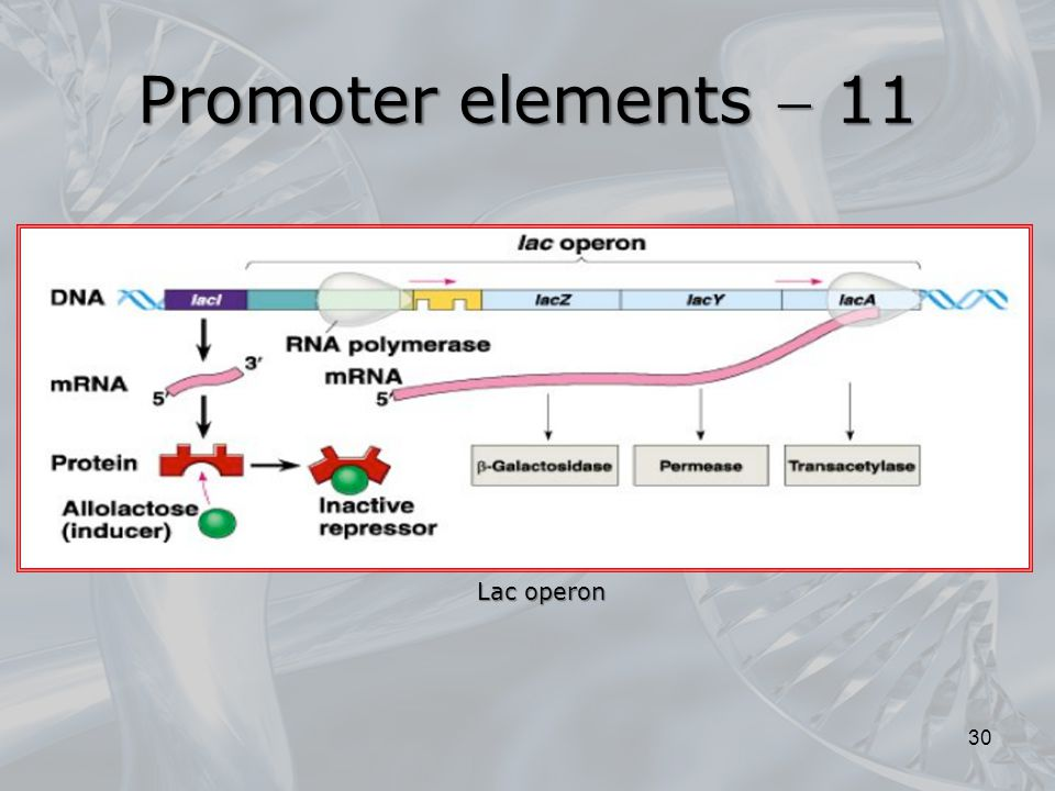 Promoter elements  11 Lac operon