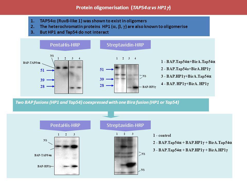 Protein oligomerisation (TAP54a vs HP1g)