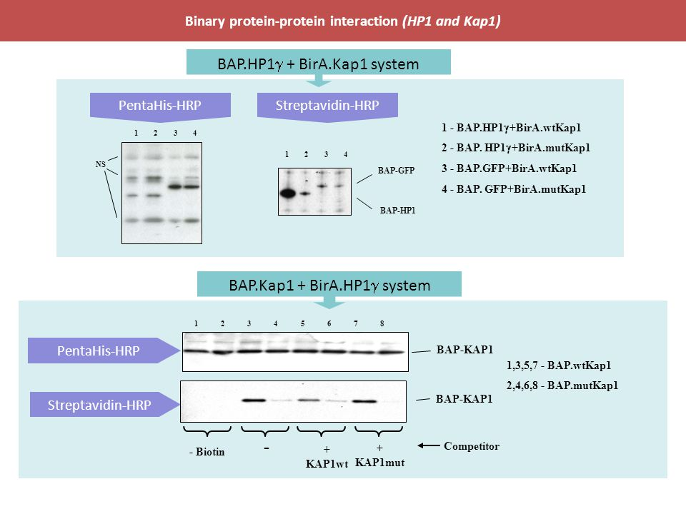 Binary protein-protein interaction (HP1 and Kap1)