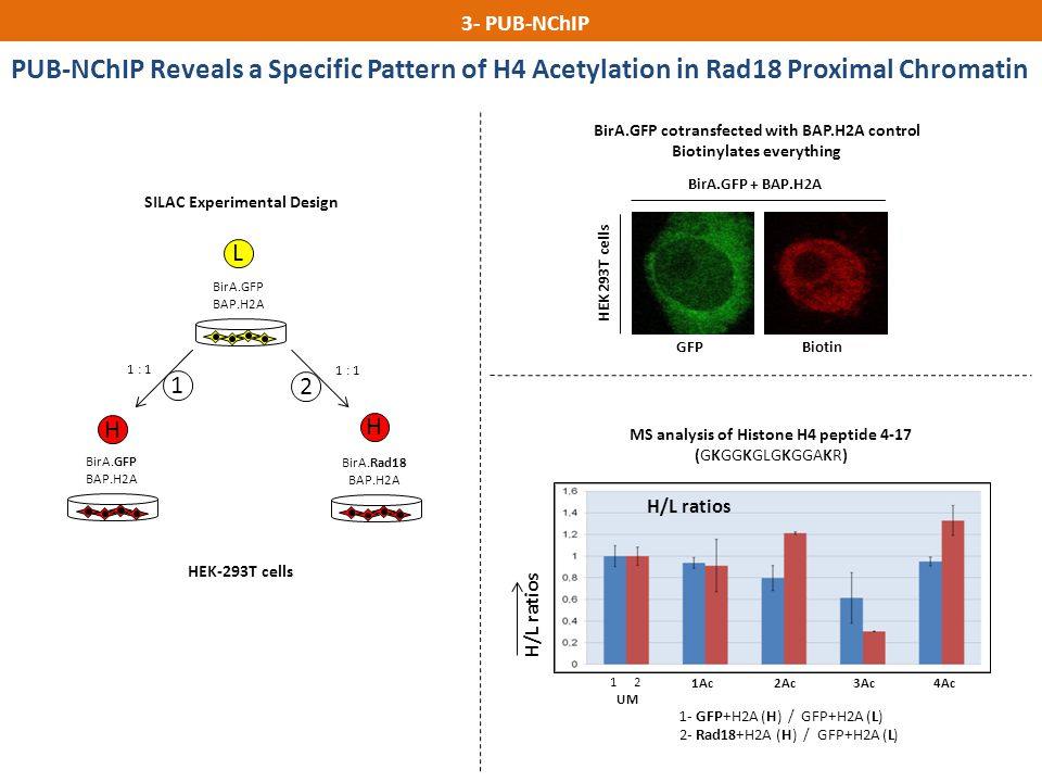 3- PUB-NChIP PUB-nChIP. PUB-NChIP Reveals a Specific Pattern of H4 Acetylation in Rad18 Proximal Chromatin.
