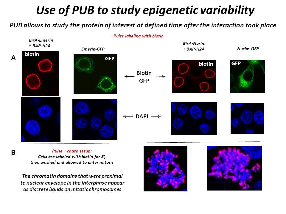 Use of PUB to study epigenetic variability