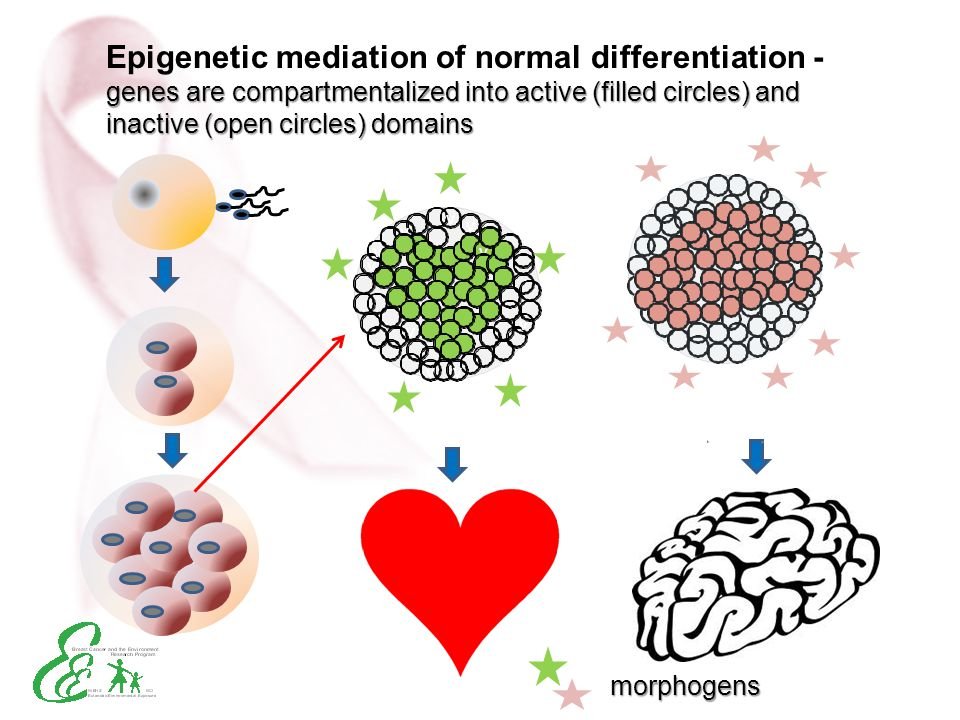 Epigenetic mediation of normal differentiation - genes are compartmentalized into active (filled circles) and inactive (open circles) domains
