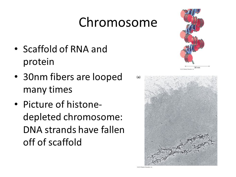 Chromosome Scaffold of RNA and protein