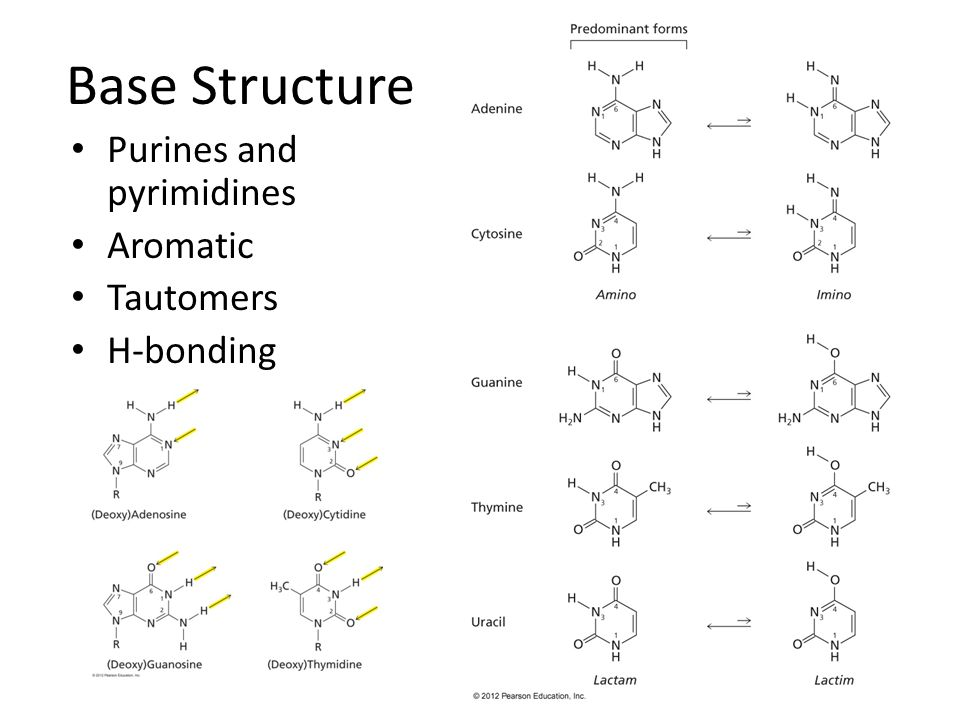 Base Structure Purines and pyrimidines Aromatic Tautomers H-bonding