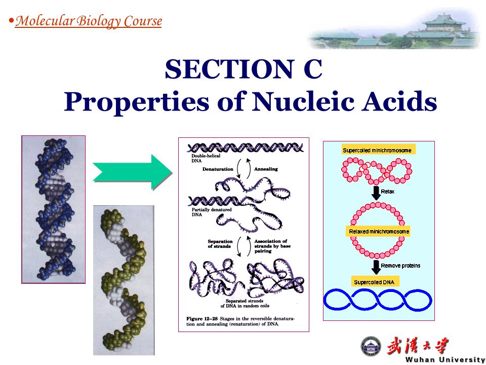 Properties of Nucleic Acids