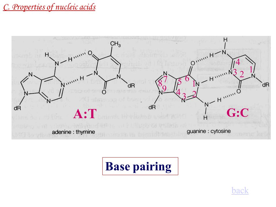 A:T G:C Base pairing C. Properties of nucleic acids 4 1 3 2 6 7 5 8 1