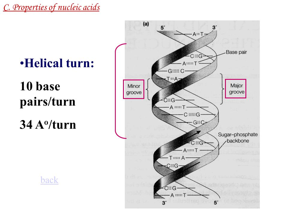 Helical turn: 10 base pairs/turn 34 Ao/turn