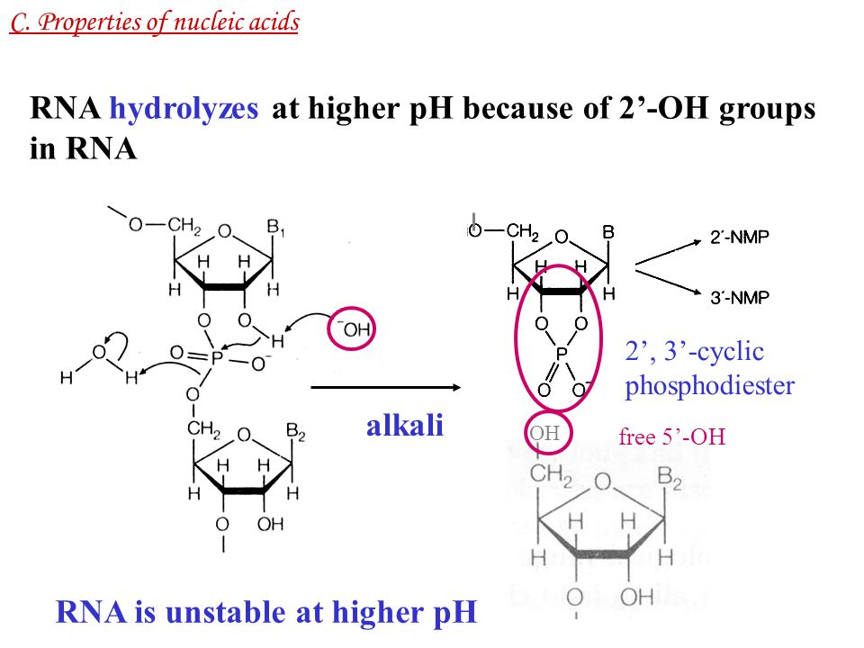 RNA hydrolyzes at higher pH because of 2'-OH groups in RNA