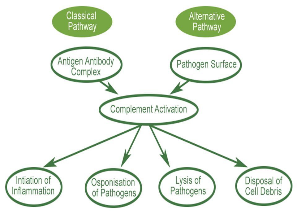 Picture of complement cascade