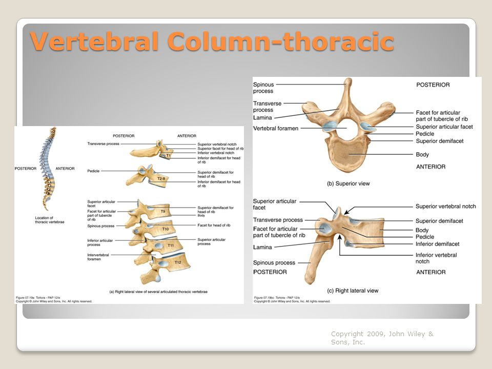 Vertebral Column-thoracic