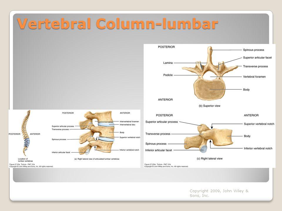 Vertebral Column-lumbar