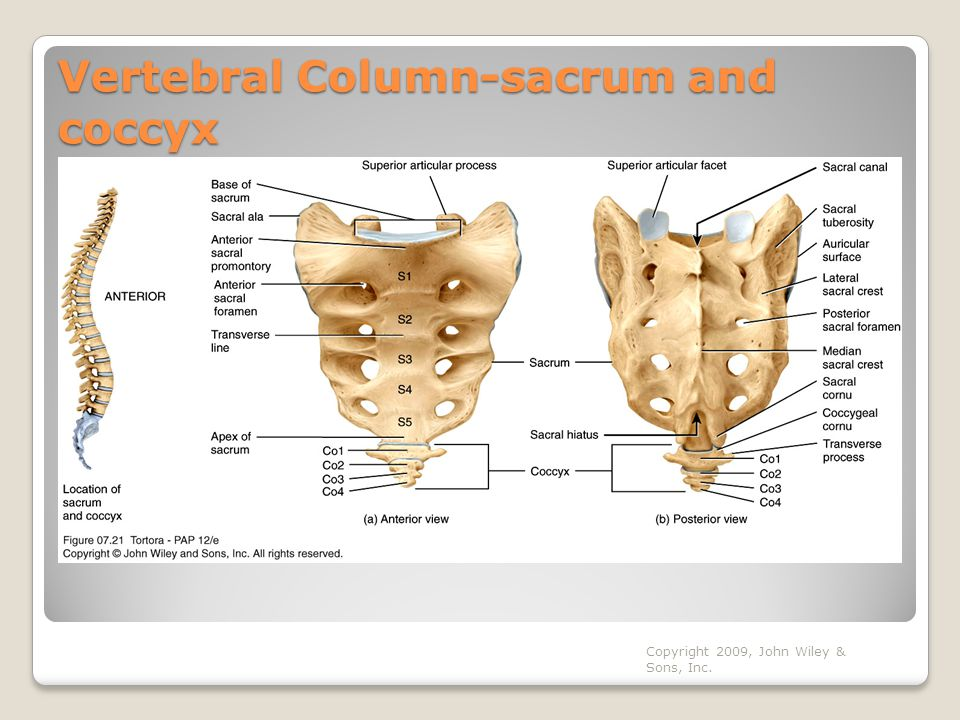 Vertebral Column-sacrum and coccyx
