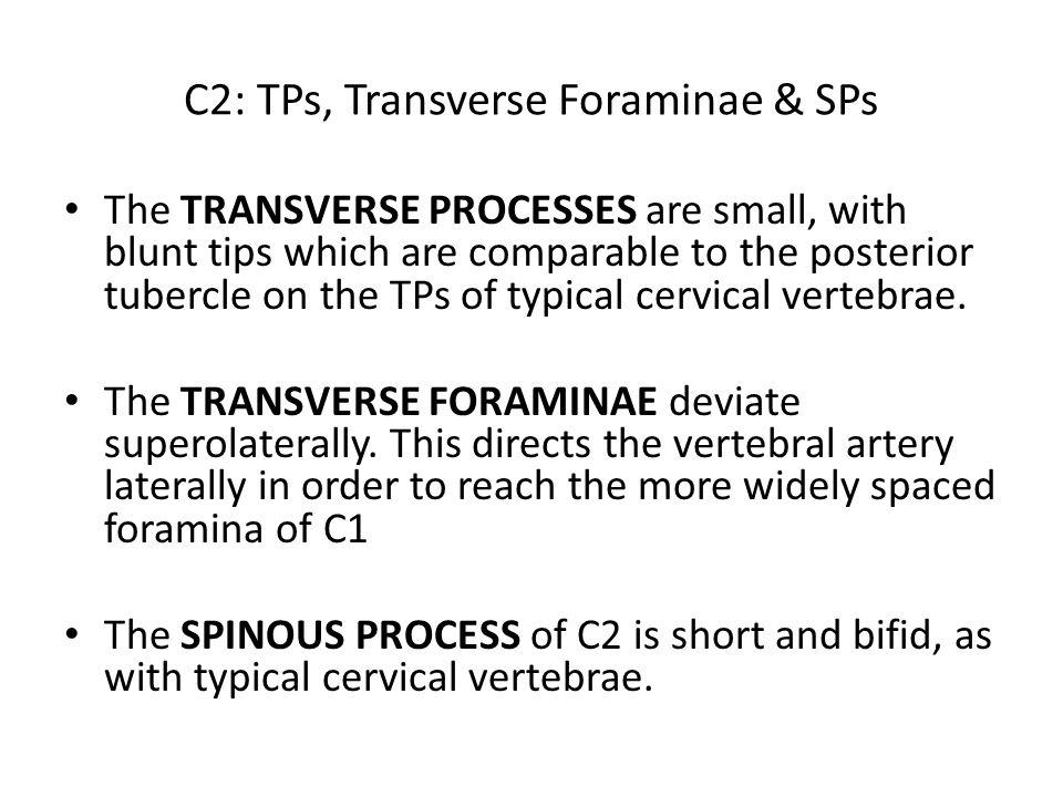 C2: TPs, Transverse Foraminae & SPs