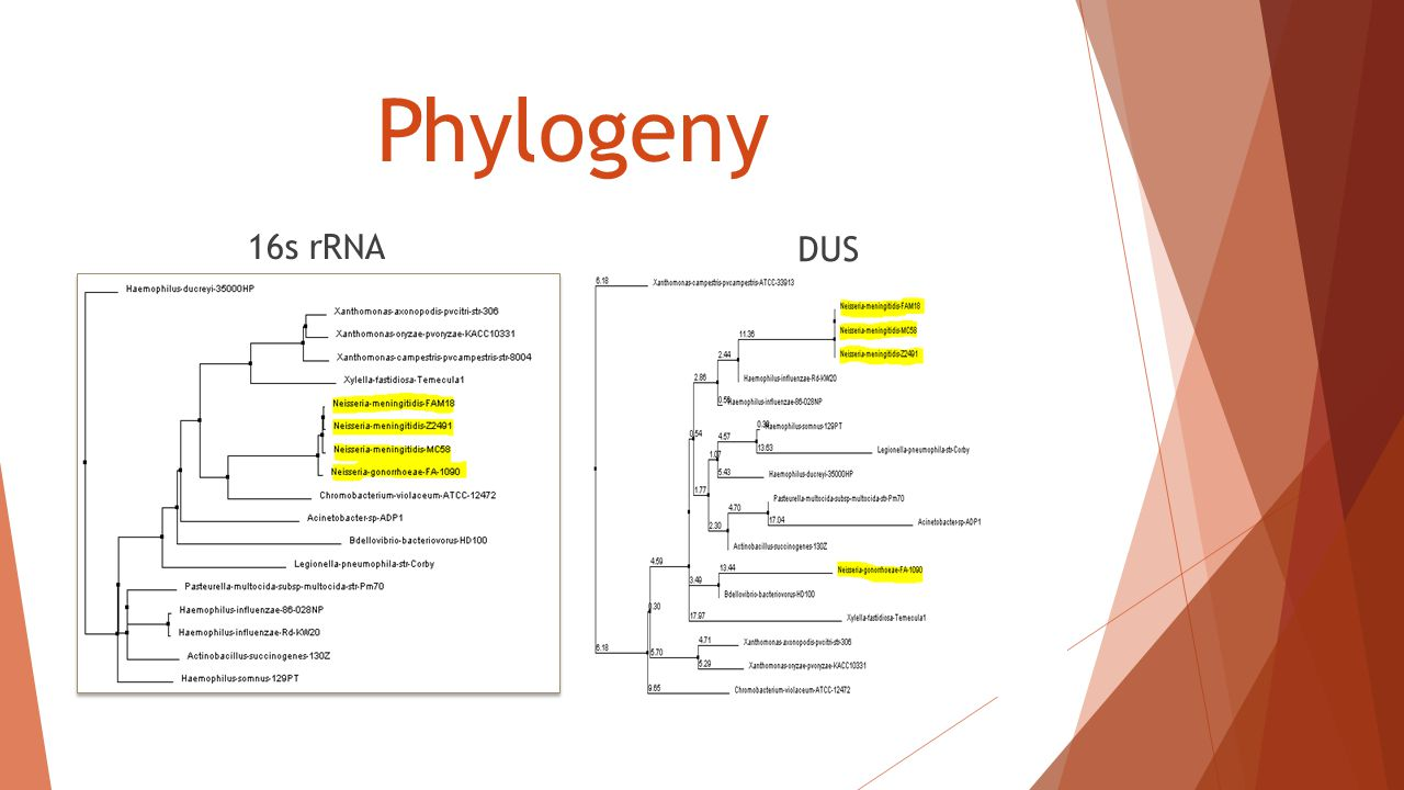 Phylogeny 16s rRNA DUS